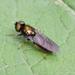 Chloromyia speciosa - Photo (c) Dimitǎr Boevski,  זכויות יוצרים חלקיות (CC BY-SA)