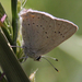 Dryope Hairstreak - Photo (c) Robin Gwen Agarwal, some rights reserved (CC BY-NC)