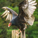 New World Vultures - Photo (c) Peter K Burian, some rights reserved (CC BY-SA)