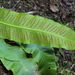 European Hart's-tongue Fern - Photo (c) HermannFalkner/sokol, some rights reserved (CC BY-NC)
