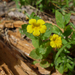 Musk Monkeyflower - Photo (c) randomtruth, some rights reserved (CC BY-NC-SA)