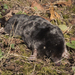 Eurasian Moles - Photo (c) Kentish Plumber, some rights reserved (CC BY-NC-ND)