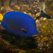 Purple Tang - Photo (c) Hubert K, some rights reserved (CC BY-NC-SA)