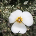 Panamint Mariposa Lily - Photo (c) Justin Ennis, some rights reserved (CC BY)