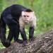 Mono Capuchino - Photo (c) Zweer de Bruin, algunos derechos reservados (CC BY-NC-ND)