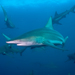 Common Blacktip Shark - Photo (c) jon hanson, some rights reserved (CC BY-SA)