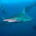 Tiburón Puntas Negras - Photo (c) jon hanson, algunos derechos reservados (CC BY-SA)