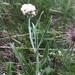 Antennaria pulcherrima - Photo (c) Ian Gazeley,  זכויות יוצרים חלקיות (CC BY-NC)