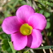 Purple Woodsorrel - Photo (c) Hayley-May Wittridge, some rights reserved (CC BY-NC)