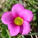 Oxalis purpurea - Photo (c) Hayley-May Wittridge,  זכויות יוצרים חלקיות (CC BY-NC)