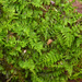 Delicate Fern Moss - Photo (c) Rob Curtis, some rights reserved (CC BY-NC-SA)