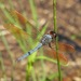 Purple Skimmer - Photo (c) Laura Gaudette, some rights reserved (CC BY)