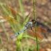 Libellula jesseana - Photo (c) Laura Gaudette, algunos derechos reservados (CC BY)