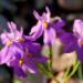 Moraea bipartita - Photo (c) Nicola van Berkel, algunos derechos reservados (CC BY-SA)