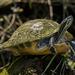 Pseudemys peninsularis - Photo (c) gherman315, μερικά δικαιώματα διατηρούνται (CC BY-NC)