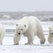 Oso Polar - Photo (c) Laura Keene, algunos derechos reservados (CC BY-NC)