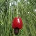 Exocarpos cupressiformis - Photo (c) eyeweed, μερικά δικαιώματα διατηρούνται (CC BY-NC-ND)
