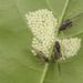 Chaitophorinae - Photo (c) franziskabauer, algunos derechos reservados (CC BY-NC), uploaded by Franziska Bauer