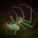 Tetragnathidae - Photo (c) Rick McNelly, μερικά δικαιώματα διατηρούνται (CC BY-NC)