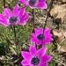 Broad-leaved Anemone - Photo (c) Georgios Mesimeris, some rights reserved (CC BY-NC-SA)