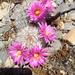 Mammillaria tetrancistra - Photo (c) danielboyes, μερικά δικαιώματα διατηρούνται (CC BY-NC)