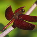 Neurothemis taiwanensis - Photo (c) Lin Scott,  זכויות יוצרים חלקיות (CC BY)
