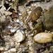 Cambarus carinirostris - Photo (c) 116916927065934112165, algunos derechos reservados (CC BY-SA), uploaded by Matt Muir