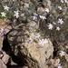 Dianthus charidemi - Photo (c) n1ayn12a, algunos derechos reservados (CC BY-NC)