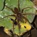 Dolomedes raptor - Photo (c) Hong, algunos derechos reservados (CC BY-NC)