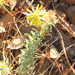 Hoary False Goldenaster - Photo (c) Chuck Sexton, some rights reserved (CC BY-NC)