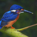 Blue-eared Kingfisher - Photo (c) patrick_tan, some rights reserved (CC BY-NC)