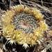 Little Nipple Cactus - Photo (c) dataecologist, some rights reserved (CC BY-NC)