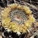 Mammillaria heyderi - Photo (c) dataecologist,  זכויות יוצרים חלקיות (CC BY-NC)