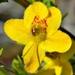 Seymeria pectinata - Photo (c) Bob Peterson, algunos derechos reservados (CC BY-SA)
