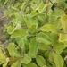 Lithraea caustica - Photo (c) sofia_floresm,  זכויות יוצרים חלקיות (CC BY-NC)