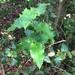 Citronella mucronata - Photo (c) eduardotamayo,  זכויות יוצרים חלקיות (CC BY-NC)