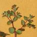 Euphorbia fendleri - Photo (c) Chuck Sexton, algunos derechos reservados (CC BY-NC)