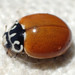 Western Polished Lady Beetle - Photo (c) K Schneider, some rights reserved (CC BY-NC)