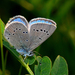 Silvery Blue - Photo (c) Brad Smith, some rights reserved (CC BY-NC)