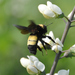 Black-and-gold Bumble Bee - Photo (c) Mark Nofsinger, some rights reserved (CC BY-NC)