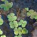 Marsileaceae - Photo (c) Lorraine Phelan, algunos derechos reservados (CC BY-NC-SA)