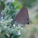Mariposa Sedosa Gris Norteña - Photo (c) Javi Gonzalez, algunos derechos reservados (CC BY-NC)