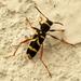 Escarabajo Avispa - Photo (c) Armand Turpel, algunos derechos reservados (CC BY)