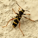 Wasp Beetle - Photo (c) Armand Turpel, some rights reserved (CC BY)