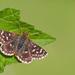 Spialia sertorius - Photo (c) Paul Cools,  זכויות יוצרים חלקיות (CC BY-NC)
