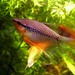 Pearl Gourami - Photo (c) Alexander Siering, some rights reserved (CC BY-SA)