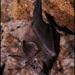 Rhinolophus formosae - Photo (c) Skink Chen, μερικά δικαιώματα διατηρούνται (CC BY-NC-ND)