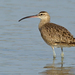 Whimbrel - Photo (c) Paul Cools, some rights reserved (CC BY-NC)