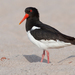 Eurasian Oystercatcher - Photo (c) Paul Cools, some rights reserved (CC BY-NC)