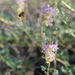 Albuquerque Prairie Clover - Photo (c) Jen Schlauch, some rights reserved (CC BY-NC)